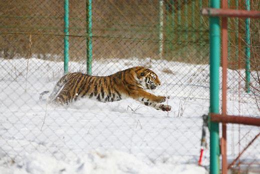 Тигра, безобразничавшего в Хабаровском крае, оставят в Приморье