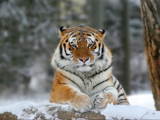 Тигрица Путина съела фотоловушку в Амурской области
