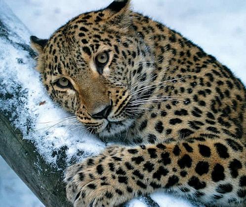 Новосибирский зоопарк отправил в Японию одинокого леопарда без имени