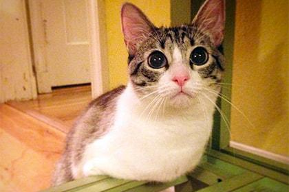 Двулапый котенок из США стал звездой Instagram