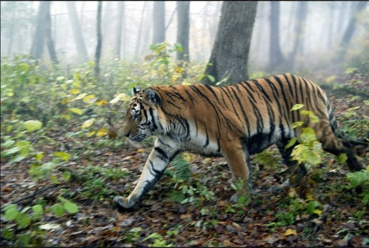 В Кремле поблагодарили пограничников ДФО за сохранение редких животны