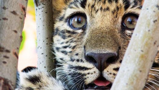 На северо-западе Москвы поймали двух леопардов
