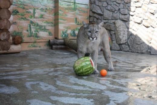 В челябинском зоопарке пройдет конкурс красоты среди диких кошек