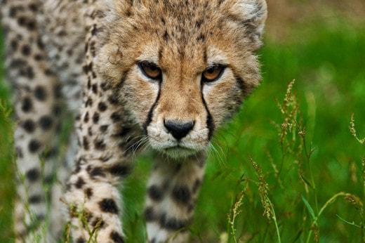 В Аргентине готовы к клонированию редкого гепарда