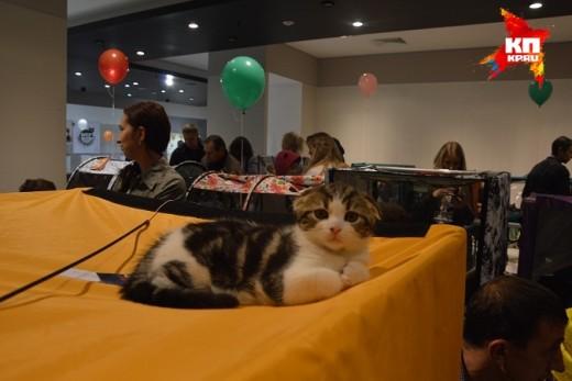В Ижевске выбрали «золотую кошку России»