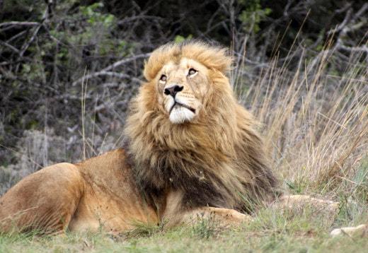 Численность львов сократится в два раза