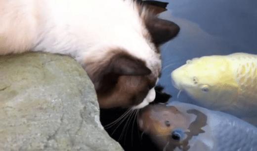 История любви кошки и карпа