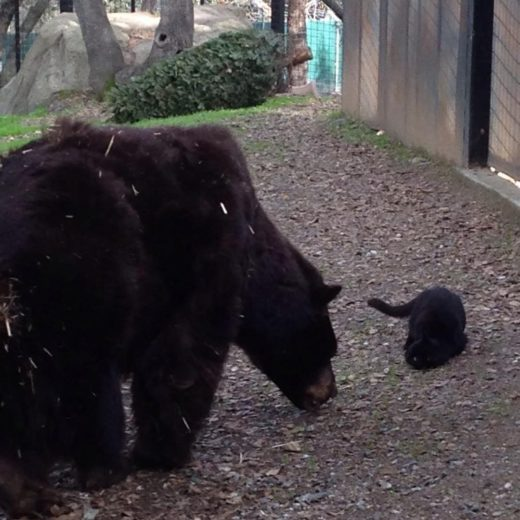 В Калифорнийском зоопарке подружились медведи и кошка