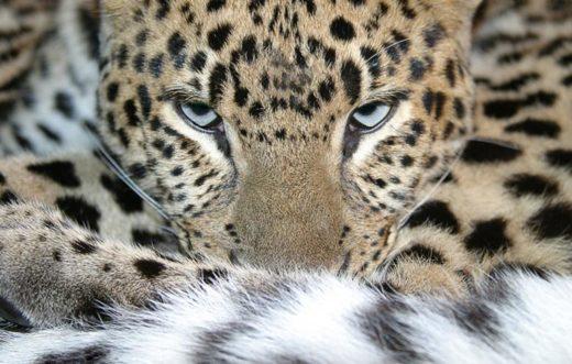 Трех сочинских леопардов выпустят в дикую природу 15 июля