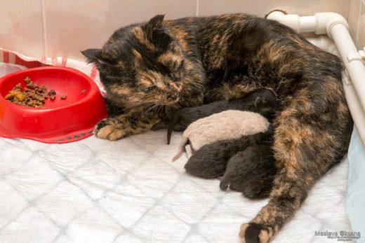 В Новосибирске беременная кошка сама пришла рожать в ветклинику