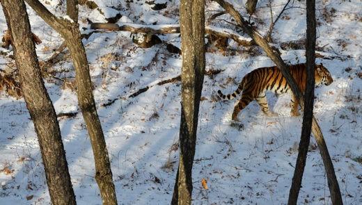 Минприроды запретит петельный лов в регионах обитания редких кошек