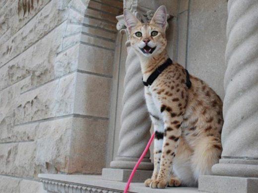 Дикая кошка разгуливала по улицам города в США