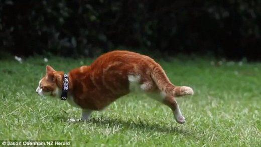 Кот-инвалид научился ходить на двух лапах