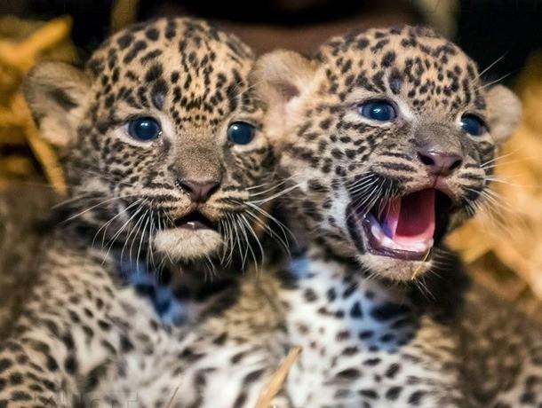 Детенышей леопардов спасли от свободной интернет-торговли на Ставрополье