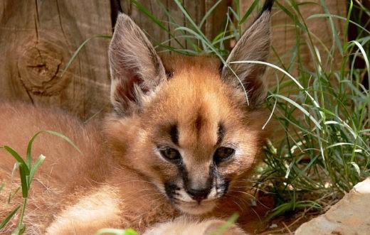 Кошки выкормили детенышей сервала и каракала в новосибирском зоопарке