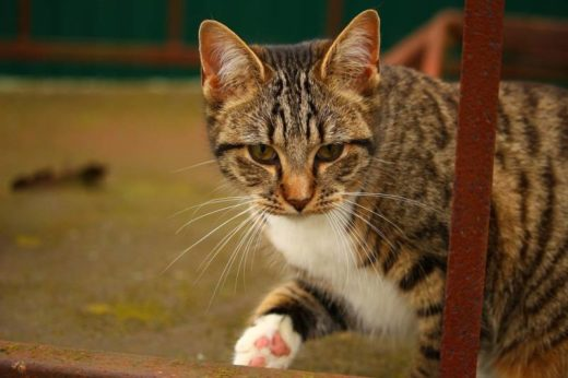 Ученые восстановили родословную саблезубых кошек по ДНК