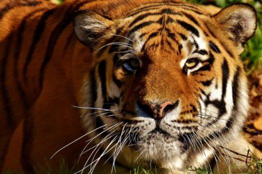Под Хабаровском гуляет Амурский тигр