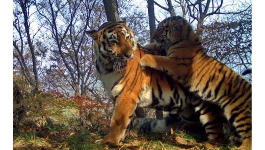 """На """"Земле леопардов"""" зафиксировали шесть новых амурских тигров"""
