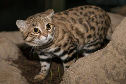 В саваннах Южной Африки, в районах Намибии и Ботсваны, обитает одна из самых маленьких диких кошек в мире.