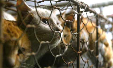 Перуанцев попросили перестать есть кошек