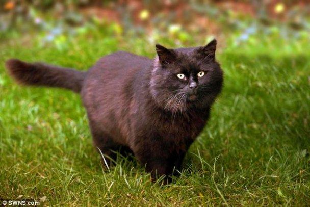 Черный кот-дьявол кусает до крови людей и соседских кошек