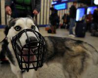 Депутаты Госдумы предлагают изменить правила содержания в доме или квартире собак бойцовской породы