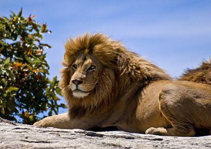 В Библейском зоопарке Иерусалима умер 16-летний азиатский лев