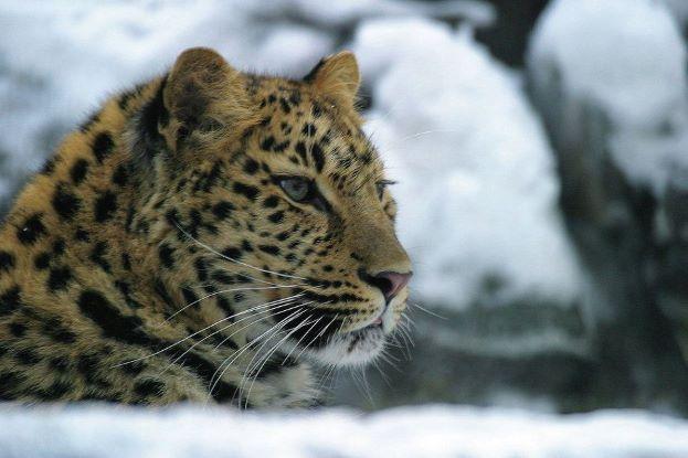 WWF: дальневосточных леопардов в Приморье может стать вдвое больше