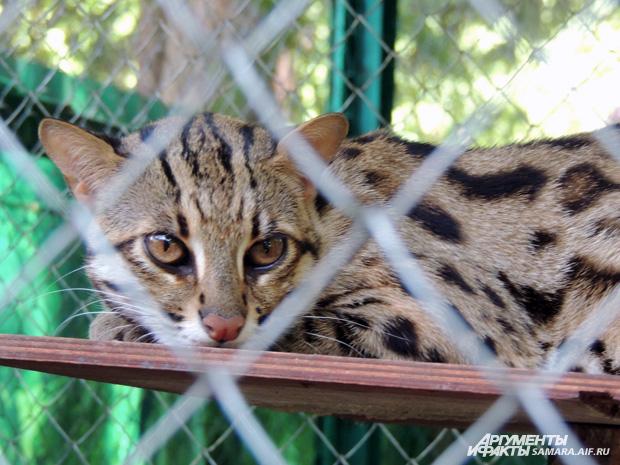 В самарском частном зоопарке у леопардовой кошки родились котята