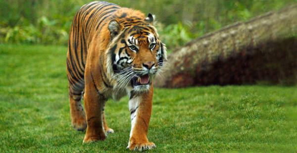 В лондонском зоопарке суматранский тигренок утонул в вольере
