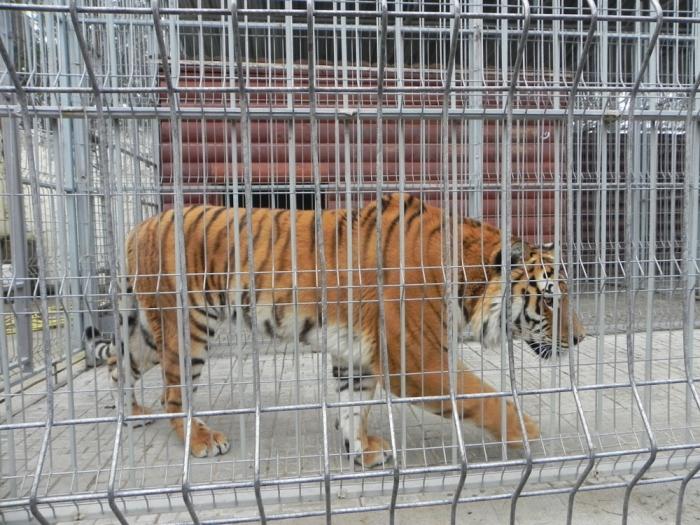 Тигр Барсик, убивший человека в Тверской области, продолжает жить на стоянке