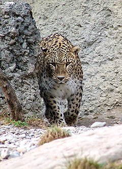 Центр восстановления популяции переднеазиатского леопарда получил приз от Оргкомитета Сочи 2014
