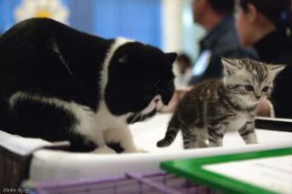 В Мурманске все больше любят британцев, шотландцев и кошек, похожих на собак