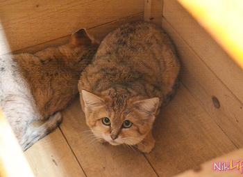 В зоопарке Николаева впервые в Украине появились барханные коты