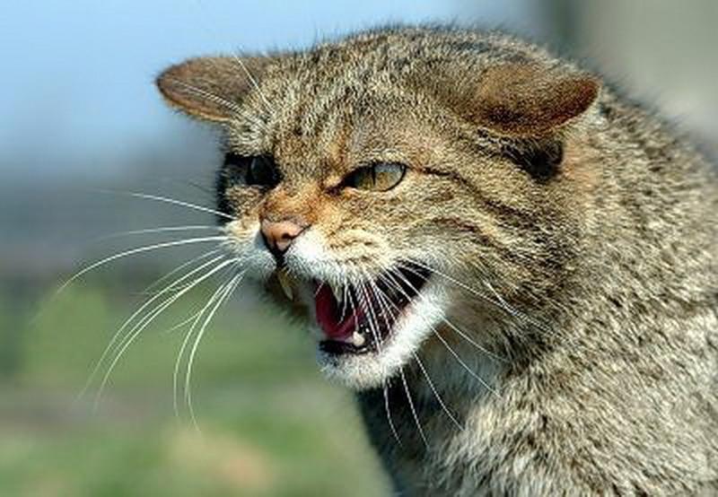 Власти Франции предупреждают туристов о нападении диких кошек