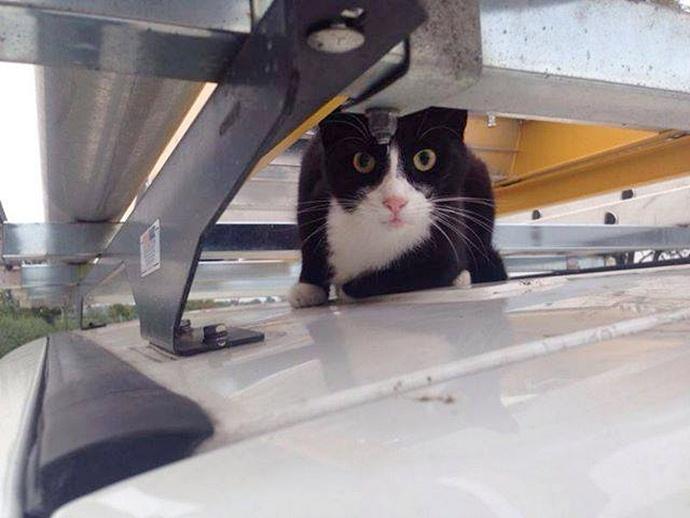 Британский кот-сорвиголова