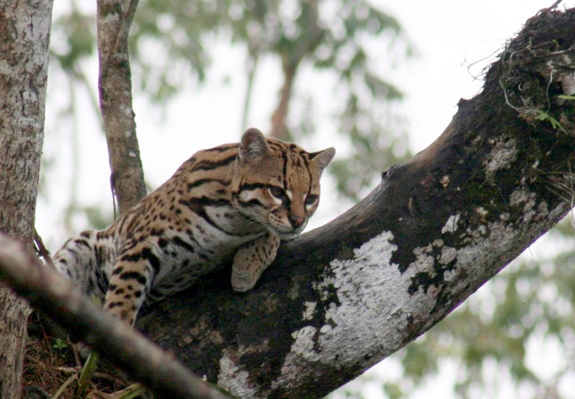 В Бразилии обнаружили неизвестных науке кошек