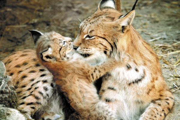 В зоопарке Екатеринбурга у пум и рысей появилось пополнение