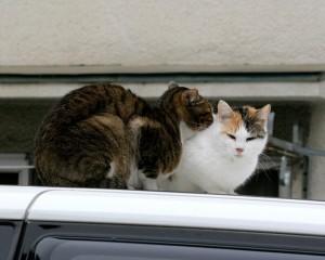 В машине ульяновца под капотом застряли две кошки