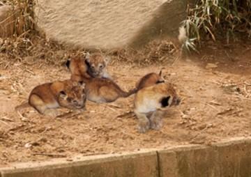 В Термезском зоопарке на свет появились четыре львенка
