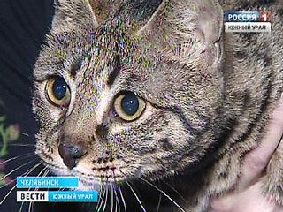 В Челябинске прошла выставка кошек элитных пород
