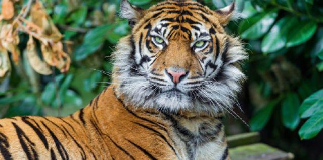 В Калининградском зоопарке тигру впервые в жизни сделан «маникюр»