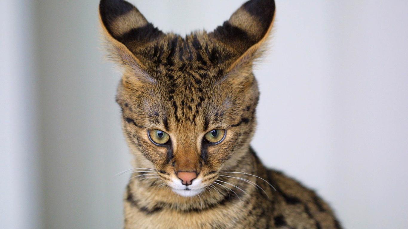 На выставке кошек в Воронеже впервые приняли участие «полудикая» саванна и коротколапый манчкин